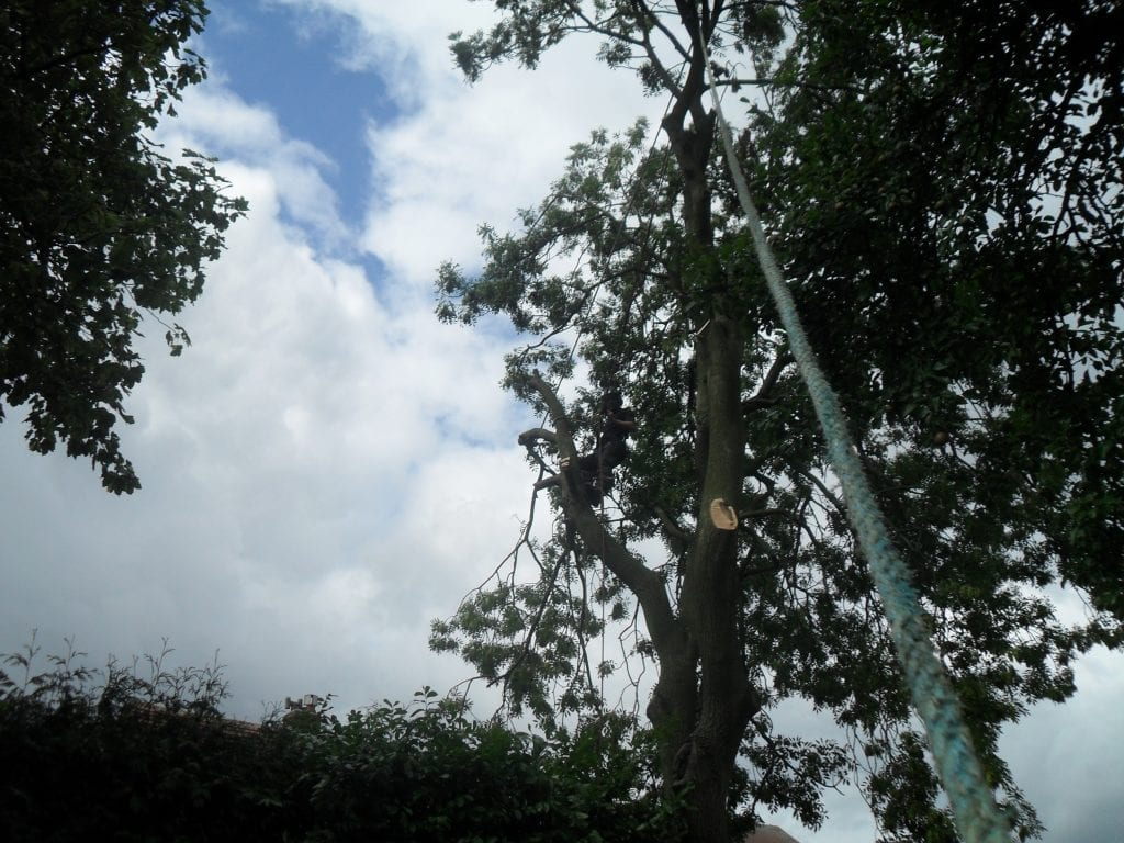 Tree surgeon climbing tree and removing branches in sections with a rope and chainsaw